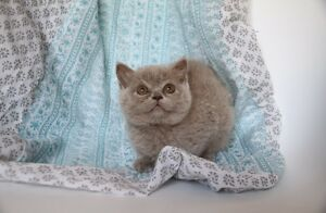 ★	Top quality British Shorthair and Scottish Fold Kittens