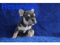 KC Reg French Bulldog Pups Only 2 Boys Left