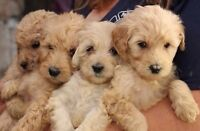 Top Quality MINI GOLDENDOODLE pups Golds and Reds