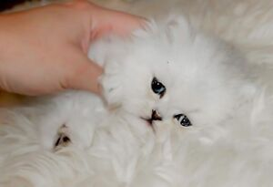 Purebred Persian female | Cats & Kittens for Rehoming | Port Alberni ...