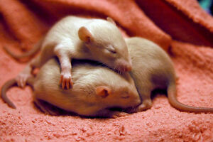 Baby Rats For Sale!