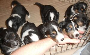 Border Collie pure bred puppies for sale