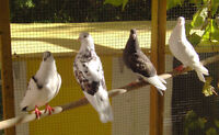 Fancy pigeons for sale - Rollers, High Flyers, Racing Homers