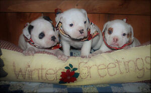 GENERATIONAL OLDE ENGLISH BULLDOGGE PUPPIES FOR SALE