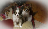 CKC REG MALE PAPILLON PUPPY