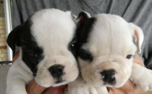 Foster homes needed for M/F English Bulldogs