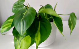 Houseplant philodendron brazil in 12cm plant pot