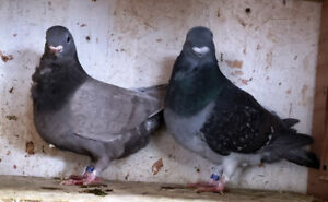 pigeons african Owls for sale