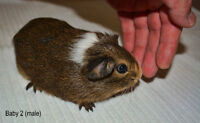 2 male baby guinea pigs and 1 eight month male guinea pig