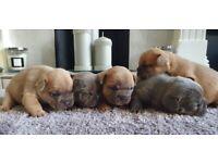 French bulldogs kc