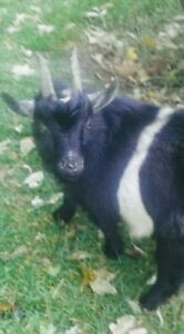 Adorable 7 Months Old Pure Pygmy Goat For Sale Or Trade For Hay