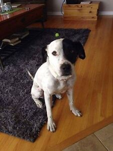 Penny is a  3 year old lab/ american bulldog
