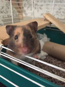 Cage Accessories for Adopted Hamster Wanted