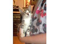 Female kitten, tabby and white looking for her forever home.
