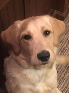 6 Month Old, Yellow, Adorable, Female Labradoodle