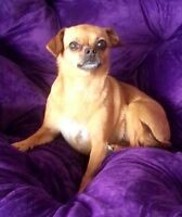Lost *500$ reward* Chihuahua Tan coloured responds to Pixie