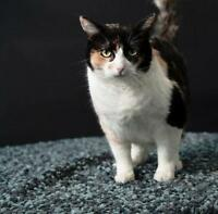 "Adult Female Cat - Domestic Short Hair: ""Sherry"""