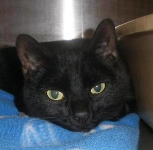 "Adult Female Cat - Domestic Short Hair: ""Maggie 16 (BC)"""