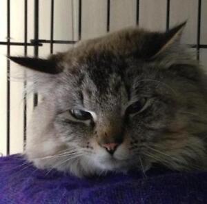 "Baby Male Cat - Tabby - Grey-Himalayan: ""Daniel"""