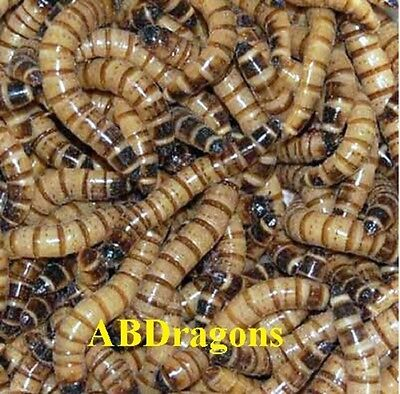 250 To 4 000  Live Superworms All Sizes Free Shipping