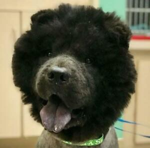 "Young Male Dog - Chow Chow: ""Jack"""