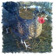 Polish Hatching Eggs