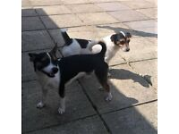 Jack Russell Boy and Girl. WILL SELL SEPARATELY.