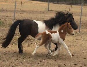 Mini horse Gatton Lockyer Valley Preview