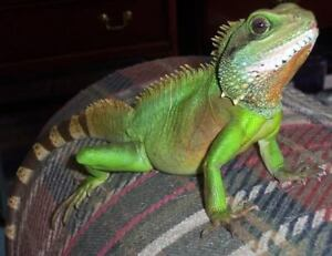 Male Chinese Water Dragon