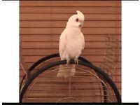 Rare bare eye cockatoo