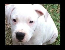 American staffy pup last one of 10 Ipswich Ipswich City Preview