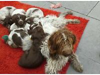 German wirehaired pointer puppies