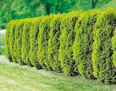 Heckenpflanzen Goldgelbe Zypresse  im Topf/Container