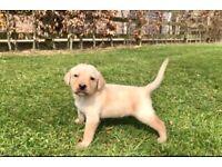 IKC Labrador Champion Pups*