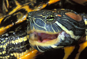 Red ear slider with large turtle tub pond and canister filter