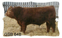 Simmental Yearling Bulls for sale