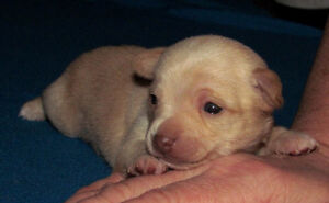 Gorgeous  chocolate and fawn Chihuahua pups London Ontario image 8