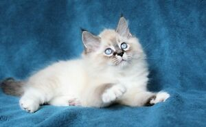 Fluffy Ragdoll kittens are available for adoption