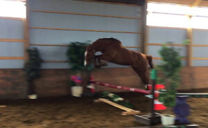 2yr old Dutch warmblood Jumper prospect