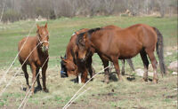 MORAB GELDING OCTRA TRINED HORSE FOR SALE!