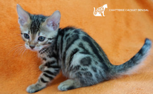 Femelle Bengal - Brown Spotted Tabby enr. TICA