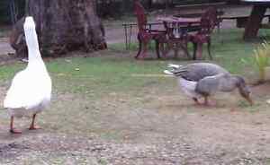 Goose & gander Swanpool Benalla Area Preview