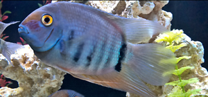 Blue severum - wanted Willagee Melville Area Preview