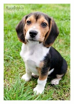 Baby BEAGLE PUPPY DOG sits  on Green Grass fine ART Pet photography 5x7 for sale  Redondo Beach