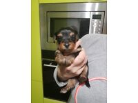 Yorkshire Terrier Puppies 2 boys and one girl
