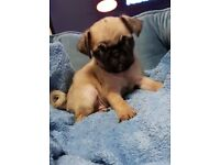 Male fawn pug puppy for sale!