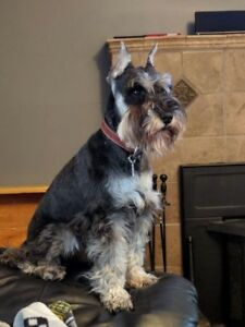 C.K.C Miniature Schnauzer Puppies for Sale
