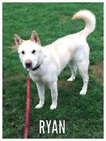 "Adult Male Dog - Shar Pei-Jindo: ""Ryan"""