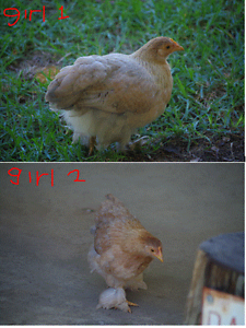 Bantams Chickens Cloverdale Belmont Area Preview