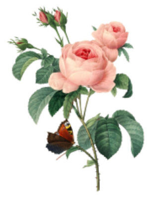 Vintage Image Shabby Pink Redouté Roses Butterfly Furniture Transfer Decal FL535